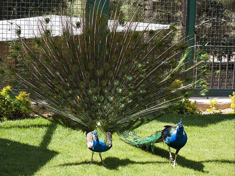 """""""طاووس"""