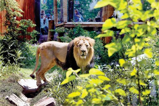 شیر ایرانی در باغ وحش ارم